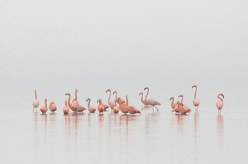 Flamingo's in Nederland van René Vos