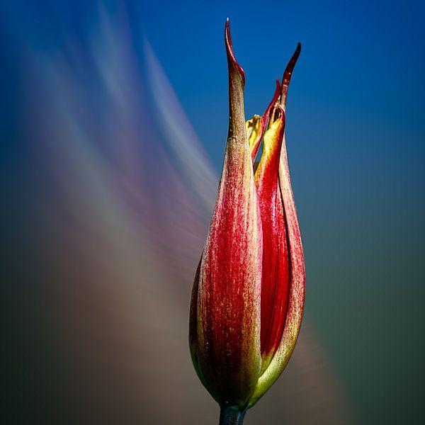 tulpje in het blauw van Dick Jeukens
