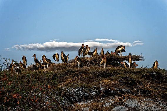 maraboes op nest