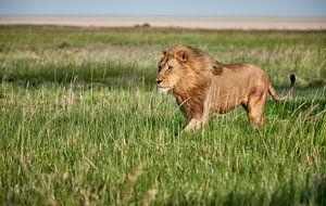 Mannelijke leeuw patrouilleert door zijn gebied van