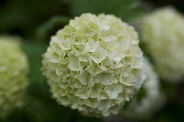 Fleur d'hortensia blanc sur Mariska Wondergem