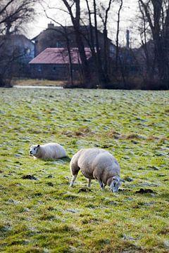 Moutons au pâturage en hiver sur Peter de Kievith Fotografie