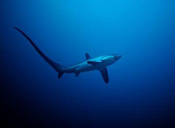 Thresher Shark sur Wijnand Plekker