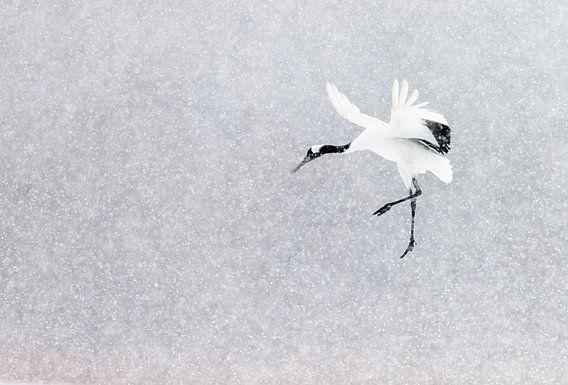 Chinese Kraanvogel vliegend in sneeuwbui van AGAMI Photo Agency