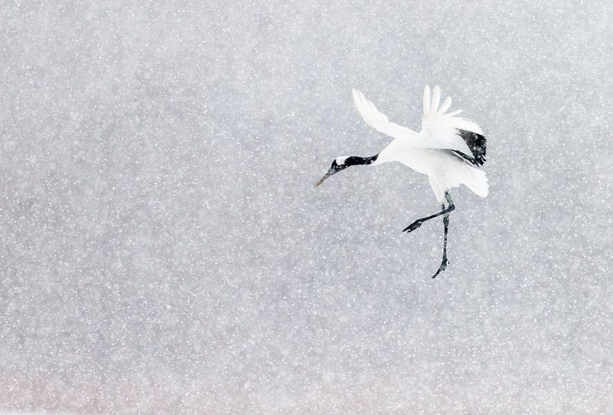 Chinese Kraanvogel vliegend in sneeuwbui