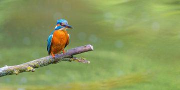 Eisvogel sitzt auf einem Ast mit Blick auf einen kleinen Teich. von Sjoerd van der Wal