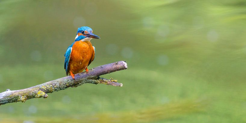IJsvogel zittend op een tak met uitzicht op een kleine vijver van Sjoerd van der Wal
