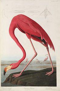 Amerikanischer Flamingo - Teylers Edition - Vögel Amerikas, John James Audubon von Teylers Museum