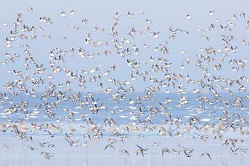 Samen, bonte strandlopers in Waddenzee - Natuurlijk Wadden van Anja Brouwer Fotografie