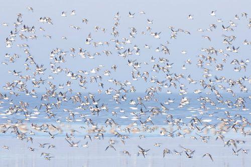 Samen, bonte strandlopers in Waddenzee - Natuurlijk Wadden