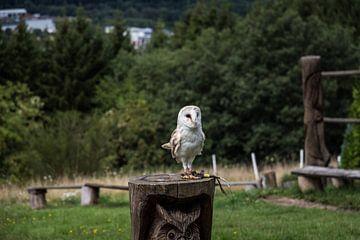 Witte Uil van Jaap Mulder