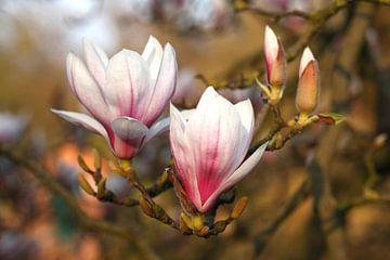 Magnolia bloemen op boomtakken , Bremen, Duitsland van Torsten Krüger