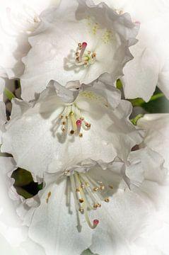 Witte rododendron bloessem van Bob de Bruin