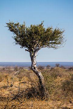 Boom met uitzicht over de Kalahari van Henri Kok