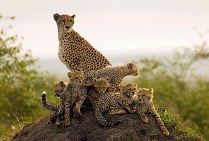 Moeder Jachtluipaard (Acinonyx jubatus) met zes welpen op de uitkijk op een termietenheuvel van