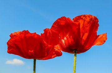 Fleur de coquelicot rouge sur fond de ciel bleu sur MPfoto71