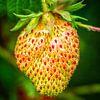 Junge Erdbeere von Holger Debek Miniaturansicht