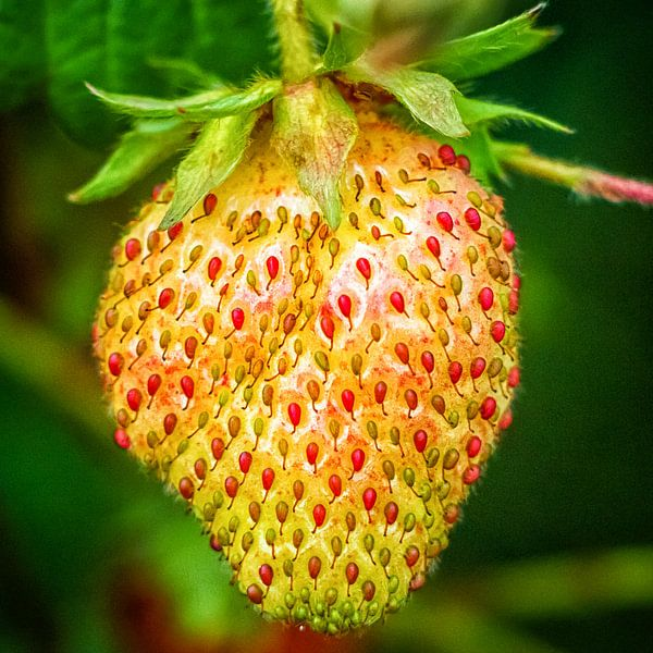 Junge Erdbeere von Holger Debek