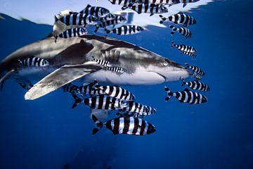 Weißspitzen-Ozeanriffhai von