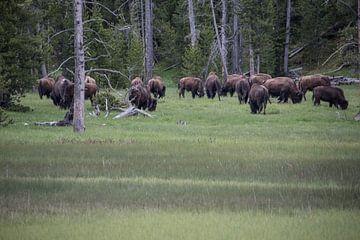 Kudde buffels in Yellowstone van