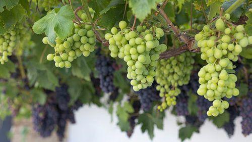 Groene en blauwe druiven van