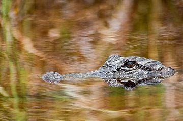 Alligator von Ralph van Krimpen