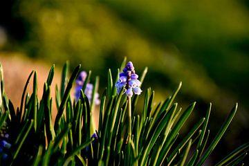 Druifhyacint / Muscari planten von Stef De Vos