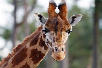Neugierige Giraffe schaut direkt in die Linse von Excellent Photo