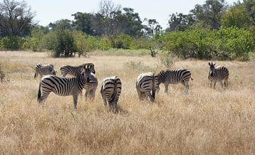 Zebrakudde in Botswana van Achim Prill