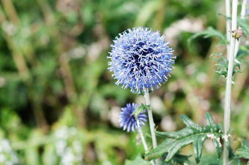 Blauwe Uienbloem  van Patricia Verbruggen