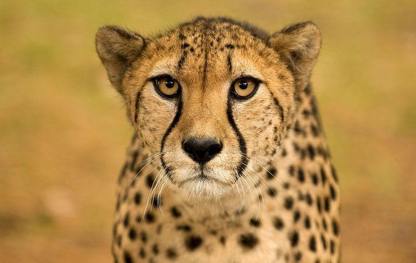 Portret van een cheetah van Eye to Eye Xperience By Mris & Fred