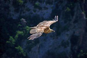 Vale gier boven de Gorges du Verdon