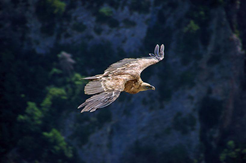 Vale gier boven de Gorges du Verdon van Discover Dutch Nature