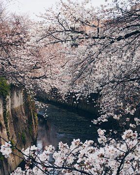 Kirschblüte in Tokio über dem Kanal von Michiel Dros