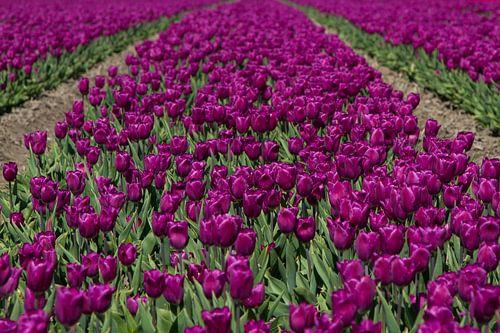 Paarse Tulpen van