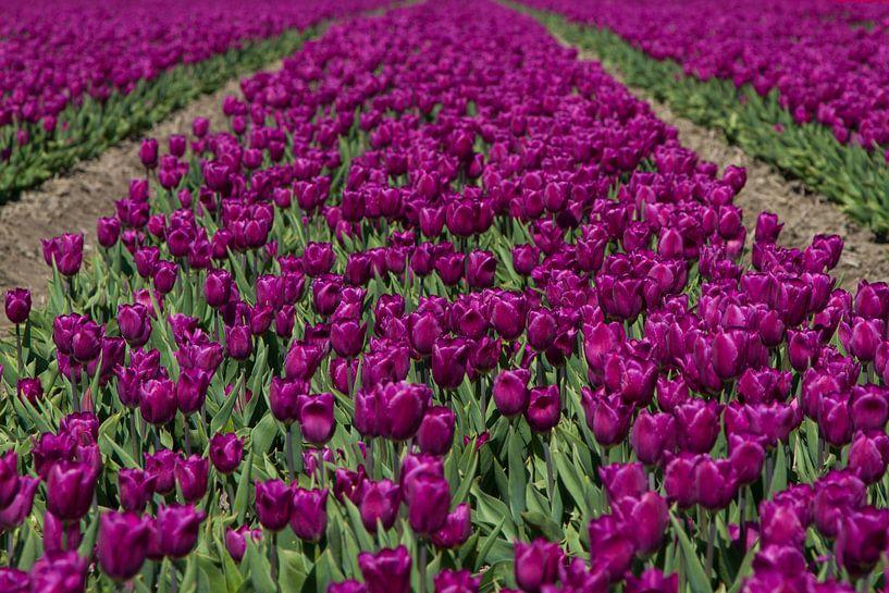 Paarse Tulpen van Menno Schaefer