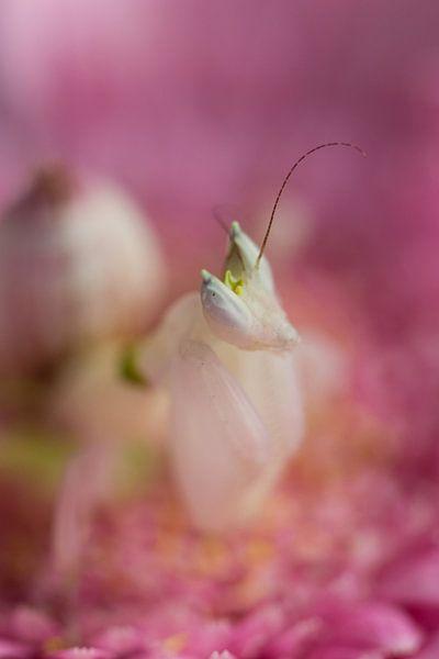 Orchidee bidsprinkhaan van ColorsofNaturePhotography Jeanet Groenewoud