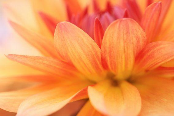 Geel rood gekleurde dahlia