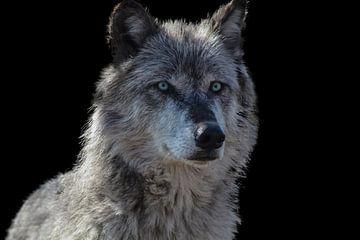 Wolf, Rocky Mountains Wolf von Gert Hilbink
