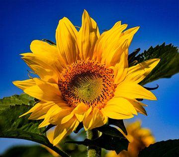 Zonnebloem met blauwe lucht van Martine Moens