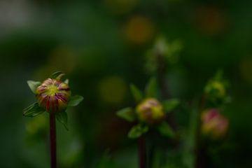 Dahlien auf dem Feld von Pure Details by Linda
