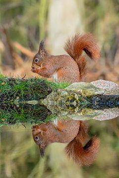 Eekhoorn gespiegeld in vijver van Annemieke Klijn