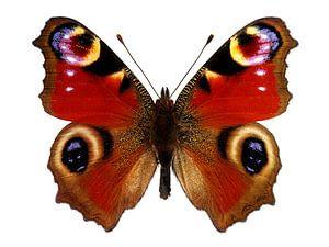 European Peacock Butterfly  van