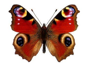 European Peacock Butterfly  von Sasha Donker