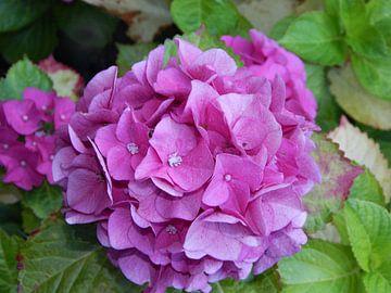 Mooie roze hortensia van Jake's shop