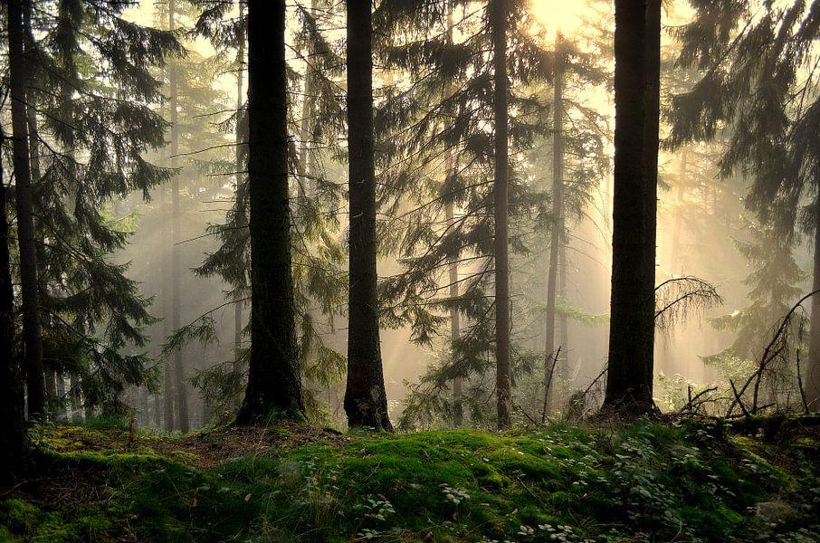 Das Licht des Waldes van bernd hiep