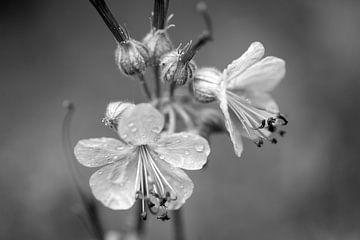 Prachtige kwetsbare bloemen in zwart wit van Seasons of Holland