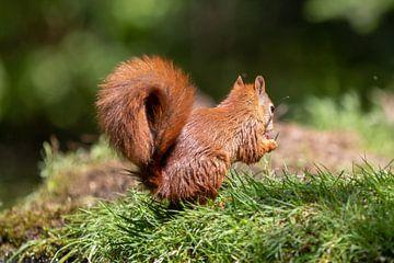 Nasses Eichhörnchen von Anjella Buckens