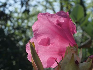 Rododendron bloem van Laura Pickert