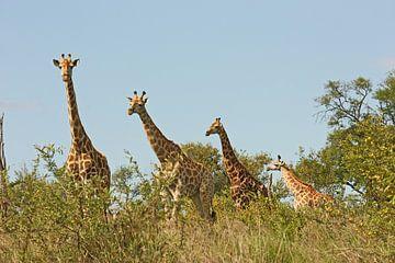 southafrica ... Giraffenstaffel van